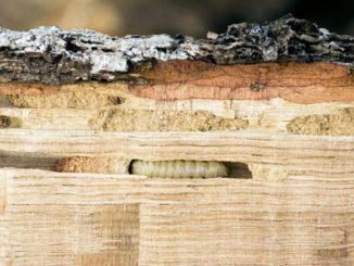 drevokazny-hmyz